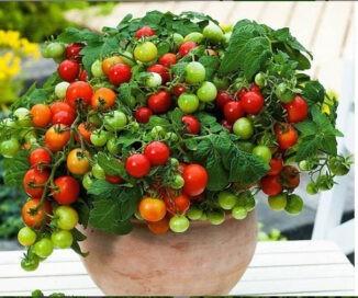 انواع میوه گلدانی