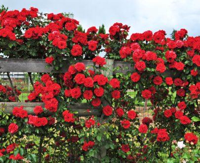 نگهداری گل رز رونده