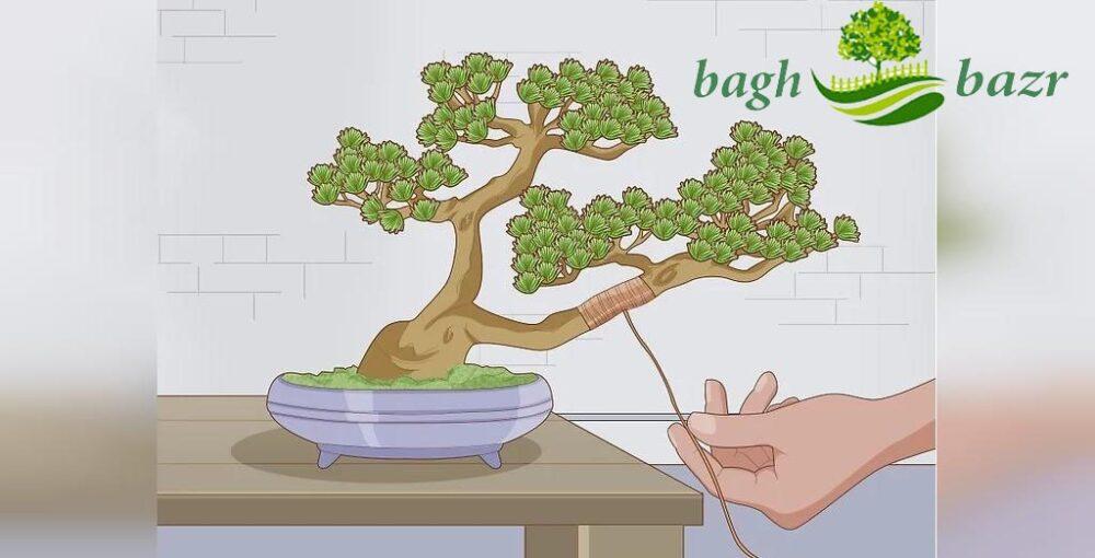 بذر بونسای چیست؟