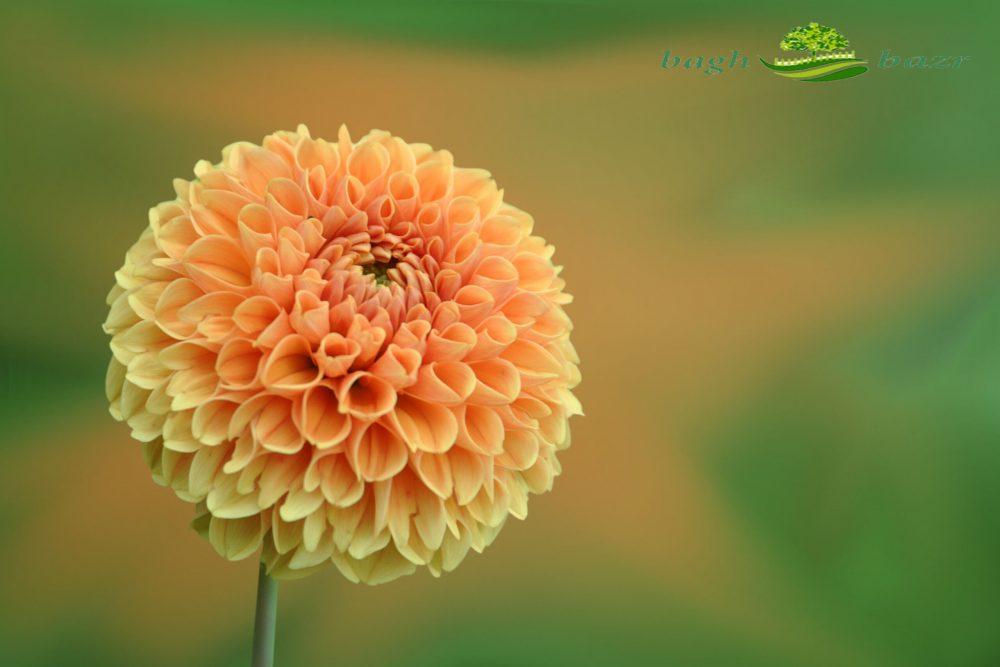 گل زیتنی