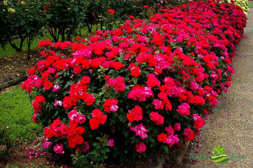 گل رز رونده در رنگ های مختلف و نگهداری آن