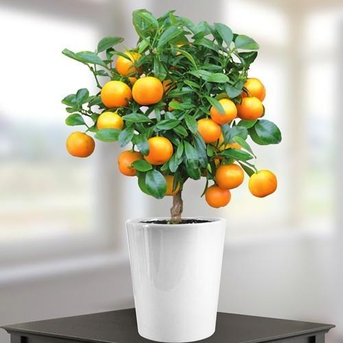 انواع میوه گلدانی همراه با آموزش کاشت