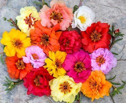 گل خشخاش ایسلندی