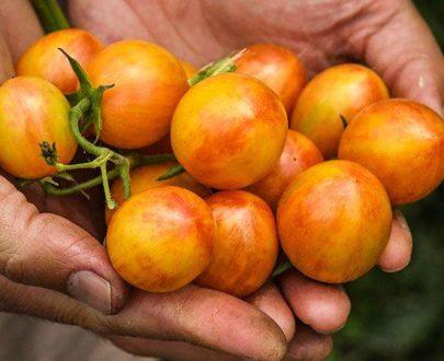 گوجه زنبور عسل