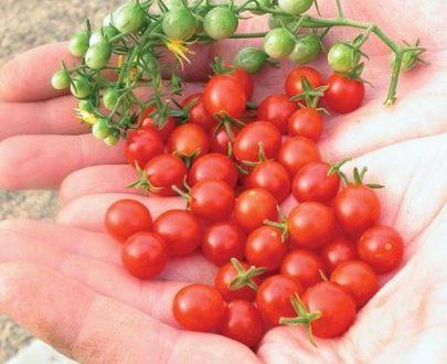 بذر گوجه سیلیگینو
