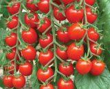گوجه سوییت