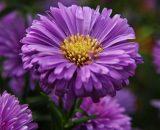 بذر گل استر