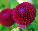 بذر گل داهلیا