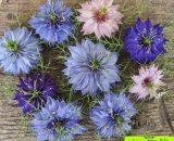 گل نایجلا