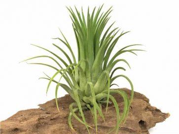خرید گیاهان هوازی