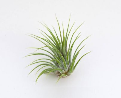 گیاه تیلاندسیا آیونانتا