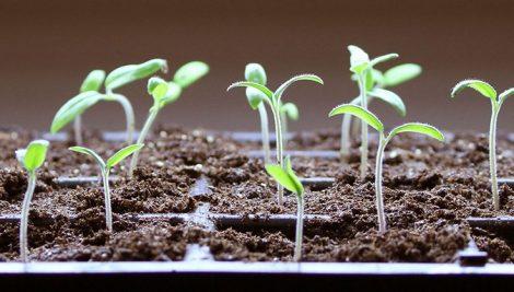 خشک شدن جوانه بذر