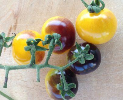 گوجه بلو گلد