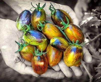 بذر گوجه اتمیک