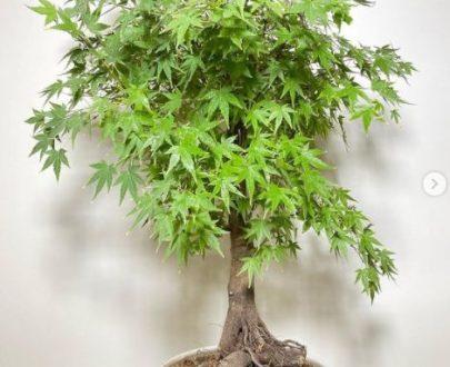 بونسای افرا سبز